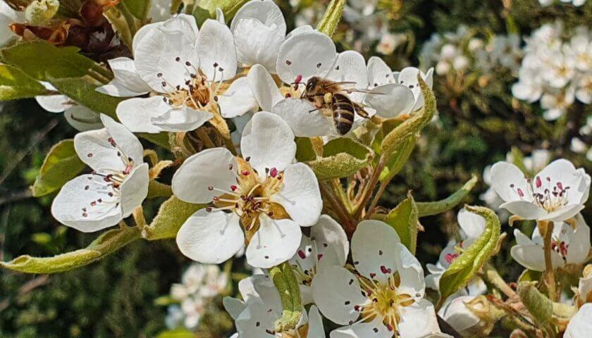 Birnbaumblüte mit Biene