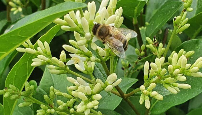 Biene auf Liguster