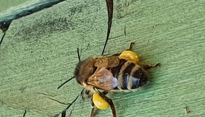 Bienen-Pollen