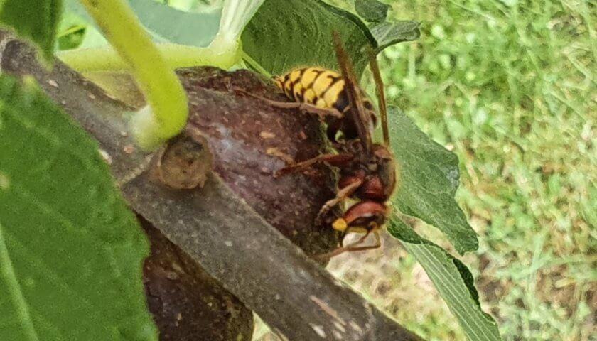 Hornisse und Bienen