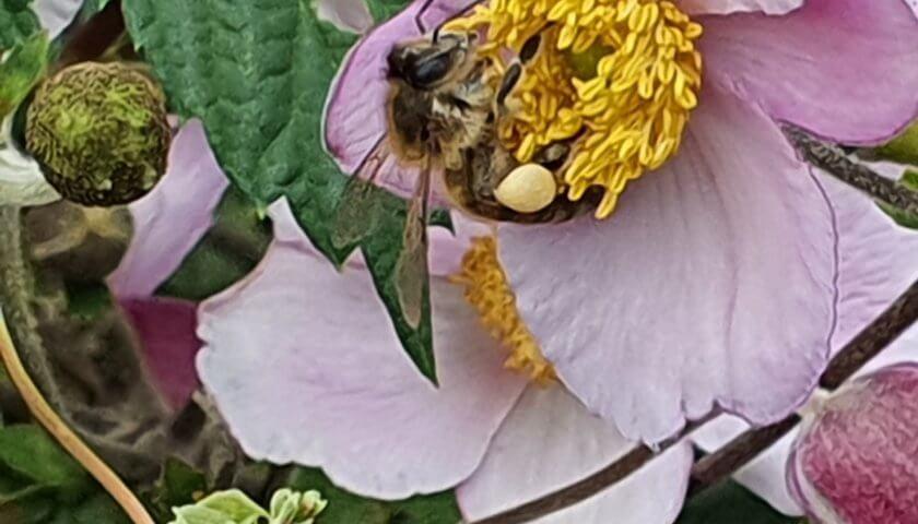 Bienen auf Windröschen mit Pollenhöschen
